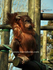 Orangutan en el zoo de Santillana del Mar